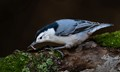 White breasted nuthatch catching a worm