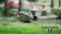 Redbellied Woodpecker in Flight