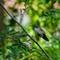 DSC08444 rufous profile on leaf small