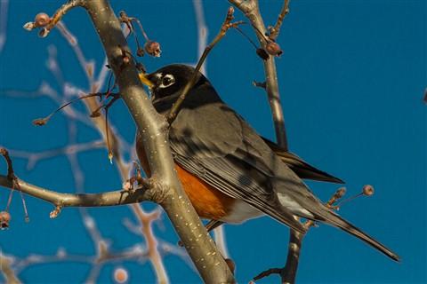 Hidding in The Tree w/Berries Little Birds