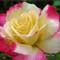 P1010406_1200-Beautiful Rose