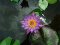 Flowing Water Lily