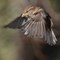 Sparrow in flight D7000 168 (2) (1600x1600)