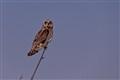Short Eared Owl MNWR 1223