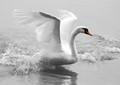 White swan at lake Thun (Switzerland)