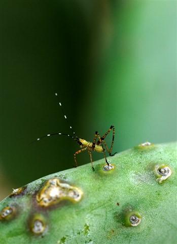 Cactus Bug - April 1, 2013 - 5370 crop