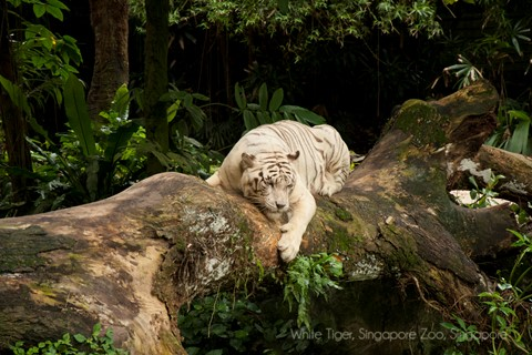 White Tiger wm