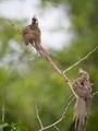 Speckled Mousebird/Colius striatus