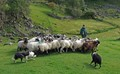 sheep and shepard ireland 2013