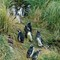 Magellanic penguins at home in tussock grass, Falkland Islands  DSC05902