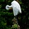 The Great Egret (Ardea alba) Perched and Preening