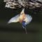 kingfisher24102018_521v2a