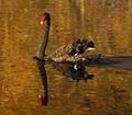 Swan on golden water