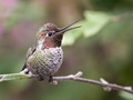 Californian Hummingbird