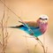 Lilac-breated Roller on a branch