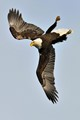 american bald eagle acrobatics