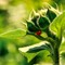 Lady Bug Under Sunflower B
