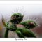 Fog-catching pelargonium bud