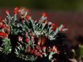 Moss-Cladonia cristatella.