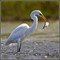 Great Egret with fish 16