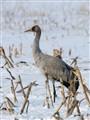 juvenile Eurasian Crane (Grus grus)