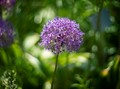 Allium (E6104638)