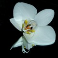 White Orchid on Mirror