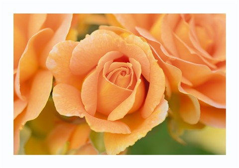 Rose29th3