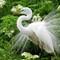 Male Egret in breeding plumage (1)