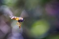 I Really love hoverflies. This is one is so relaxed and proficient in flying, its legs are just dangling!