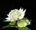 Masterwort (Astrantia major), herbaceous plant related to the carrot