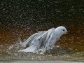 Bathing seagull