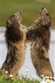 Marmots fighting