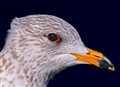 Red eye gull..