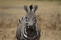 Zebra: mother nature paints