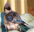 wet bluejay