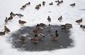 IMG_5054 Ducks on the frozen pond