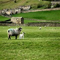 Lambing Time in the Dales