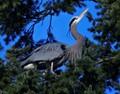 Heron in spruce