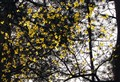 yellow leaves ( edited version )