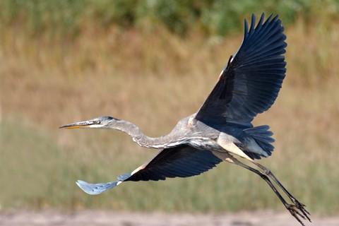 blue heron 3 sm