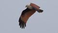 Brahminy Kite at Low Light
