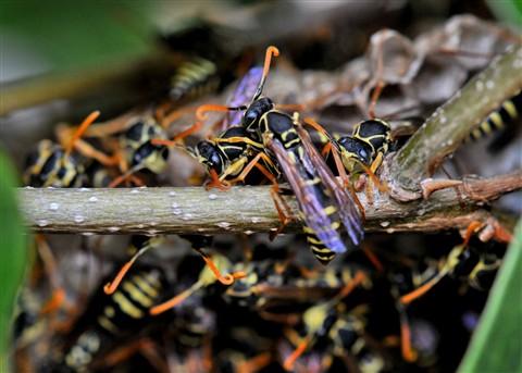 The secret world of wasps