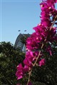 Bougainvillea and bridge