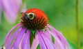 Echinacea with bumble bee