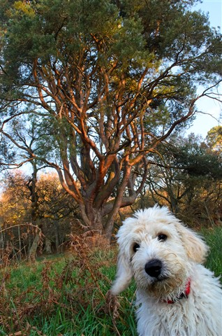 Mucky dog and wonderful Scots Pine