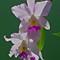PENTAX K5 cattleya orchids