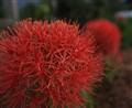 Round Red Flower