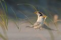 Least Terns in Love...