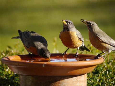 American Robins drinking